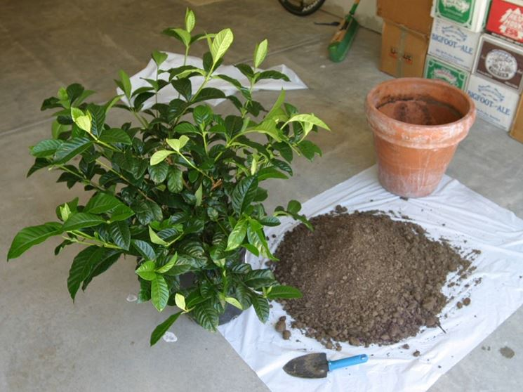 Rinvaso bonsai gardenia