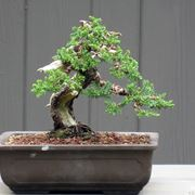 Bonsai in vaso