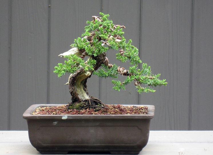 Bonsai ginepro cura bonsai curare bonsai ginepro for Bonsai cura