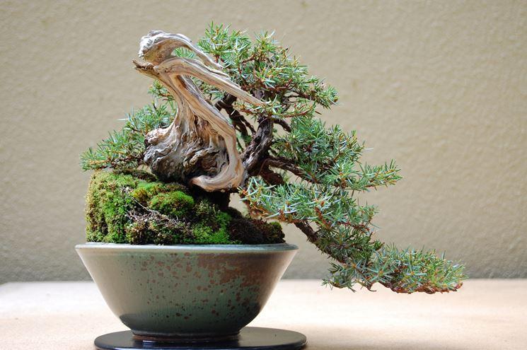 ginepro bonsai