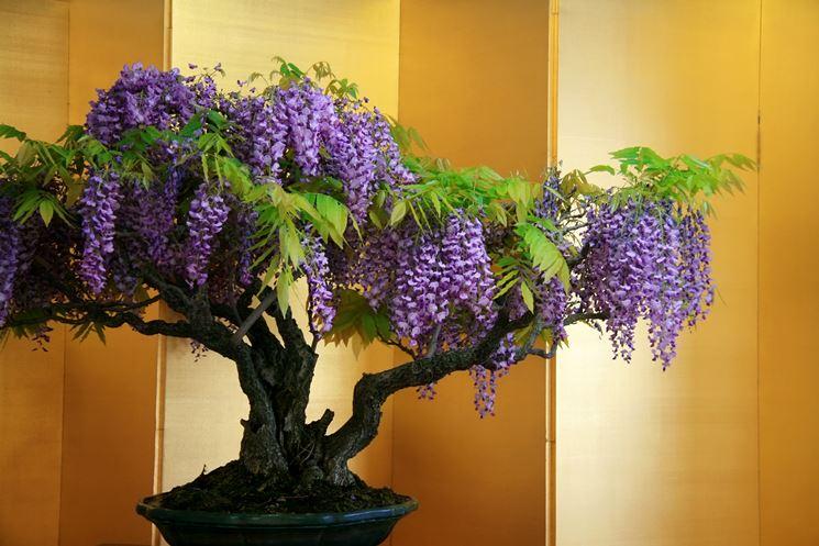 Bonsai glicine fiorito