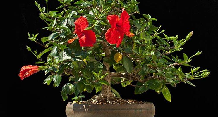 Pianta bonsai Hibiscus