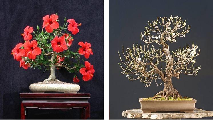 Bonsai Hibiscus con fiori rossi