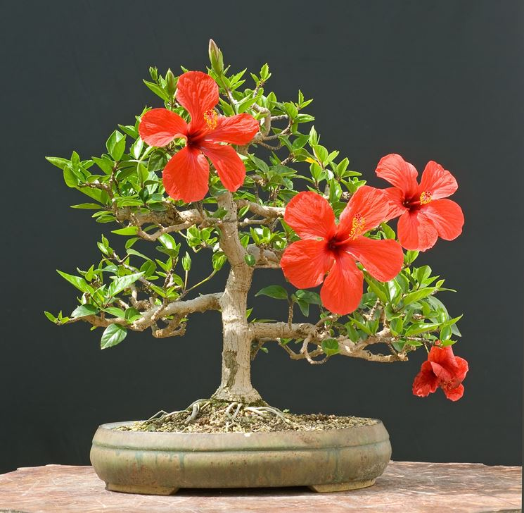 Ibisco bonsai