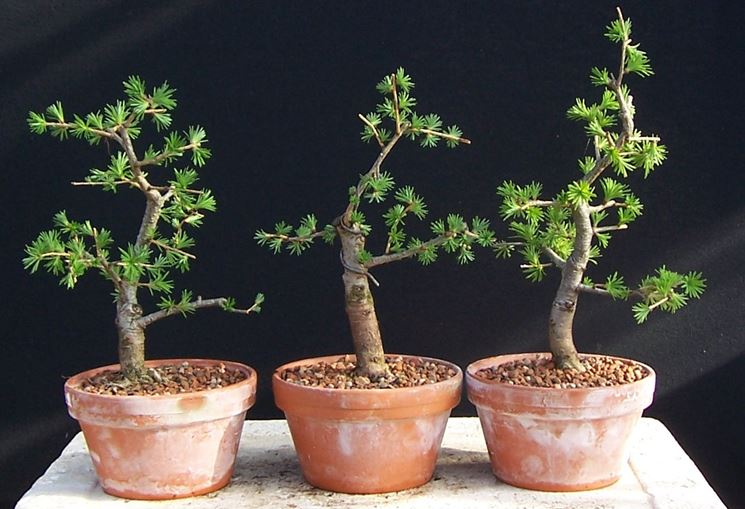 Diversi bonsai di larice