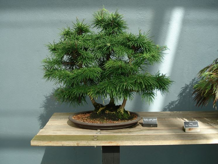 Bonsai di larice