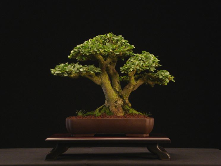 Pianta di Bonsai ligustrum