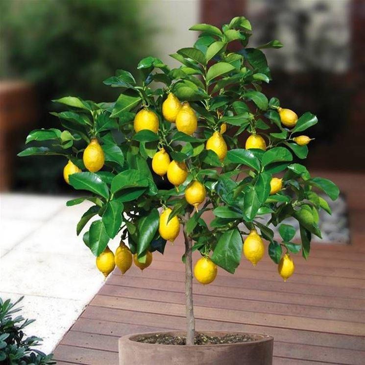 Un esempio di bonsai limone