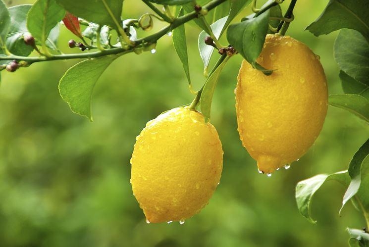 Il frutto del limone