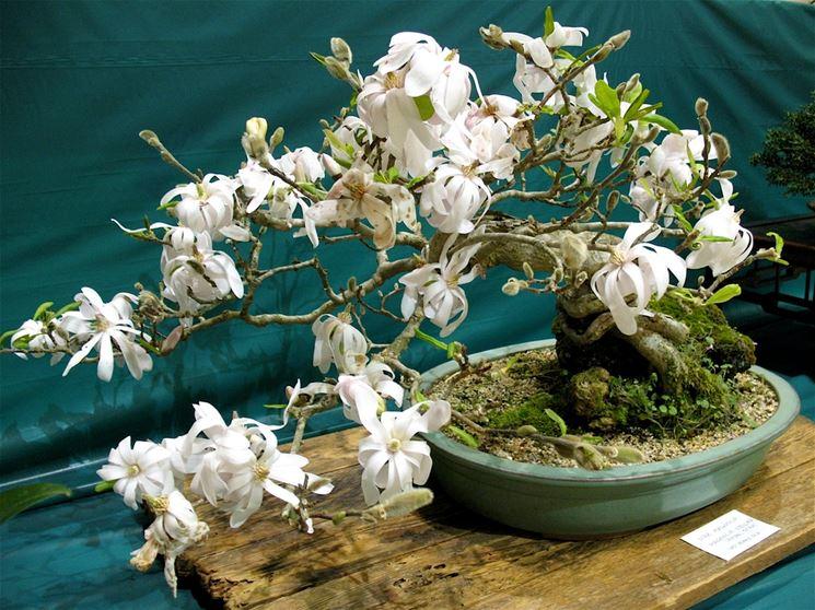 bonsai magnolia stellata