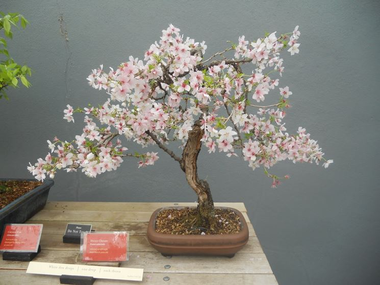 magnolia bonsai