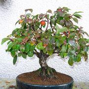 Esempio bonsai melo