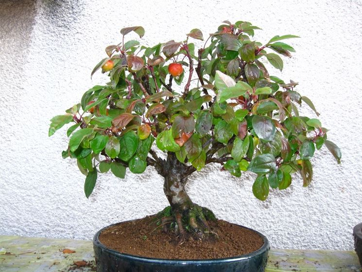 Cura bonsai da interno