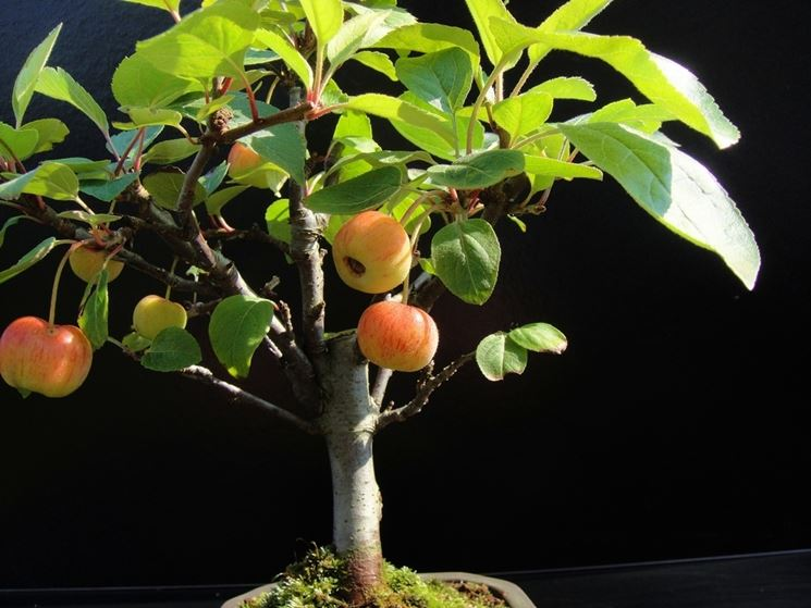 Irrigare bonsai melo