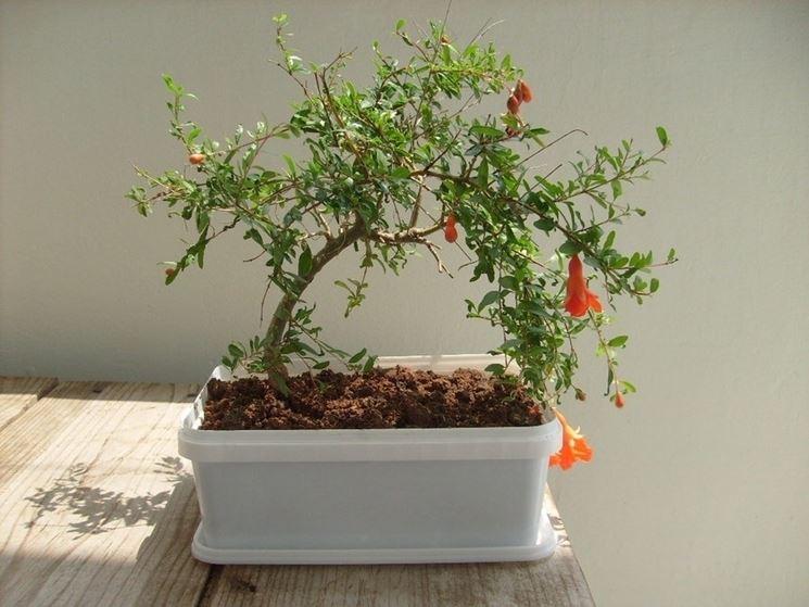 Bonsai melograno cura bonsai cura pianta bonsai for Bonsai pianta