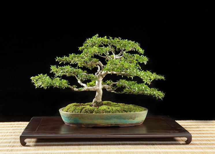 Bonsai olivo cura bonsai bonsai di olivo for Olivo bonsai prezzo
