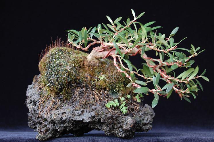 Bonsai di Olea Oleaster