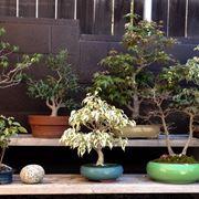 Il bonsai è una pianta delicata