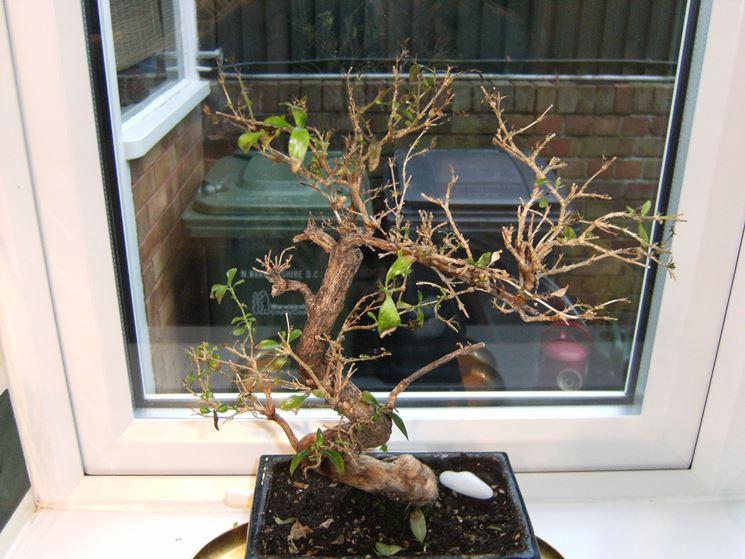 Il bonsai perde foglie