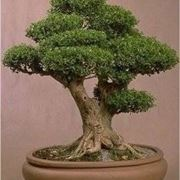 bonsai perde foglie