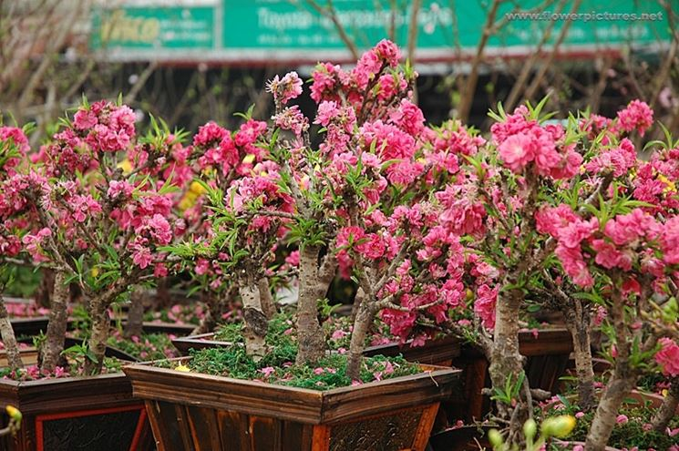 Bonsai di pesco in fiore