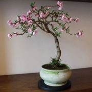 bonsai pesco