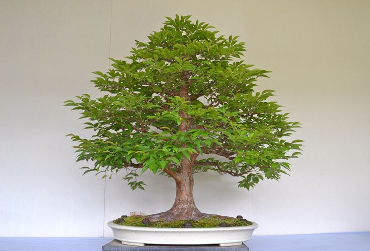 Bonsai quercia
