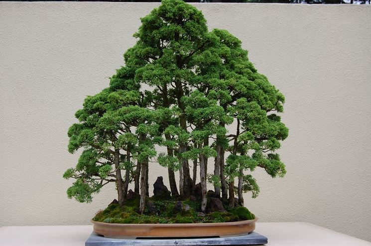 Suggestivo bonsai