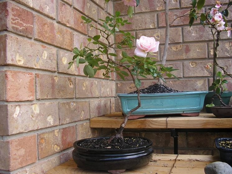 bonsai rose pianta