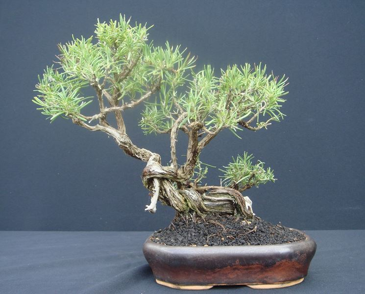 Bonsai di rosmarino