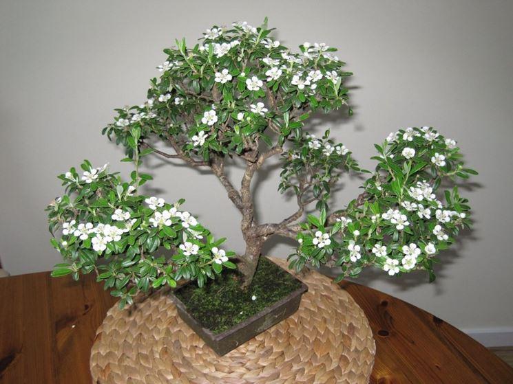 Bonsai Serissa fiorito