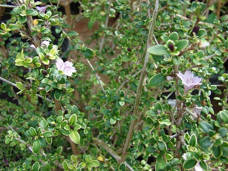 Fiori bonsai Serissa variegata