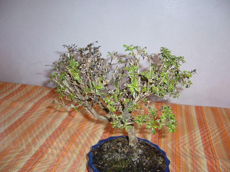 Malattie bonsai Serissa