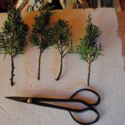 Esempi di talee per bonsai