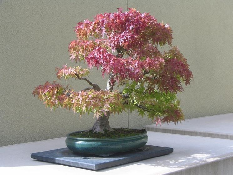 Il Bonsai acero