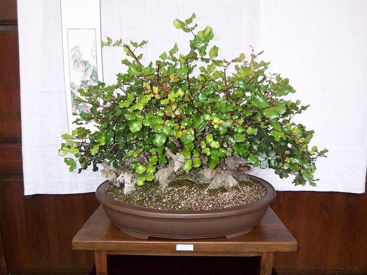 Pianta di Bonsai