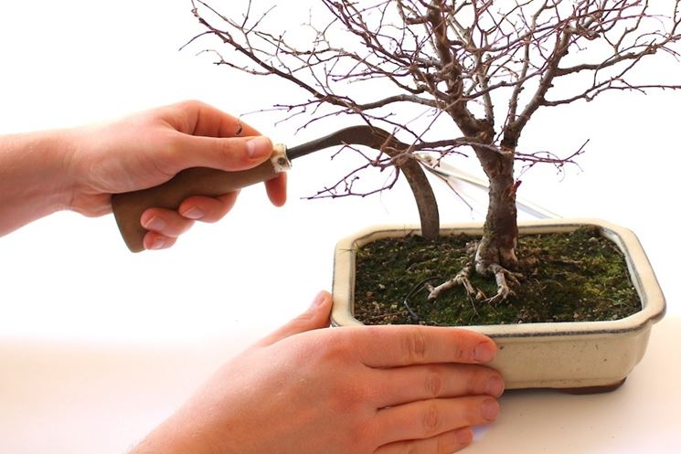 Ciliegio bonsai