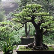 Esemplare di Ficus bonsai