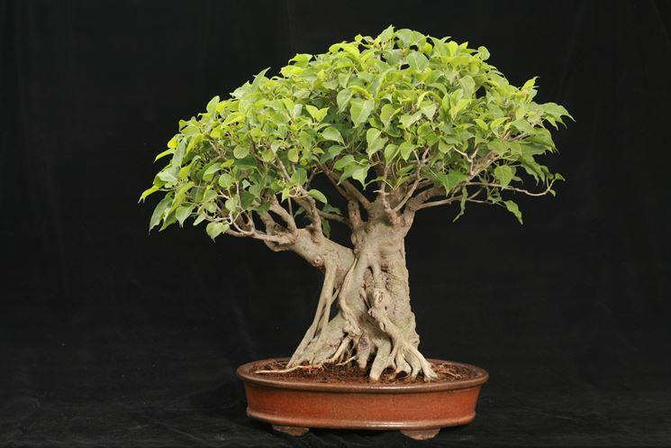 Pianta bonsai di Ficus