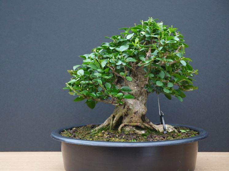 Bonsai Ligustrum con filo e tirante
