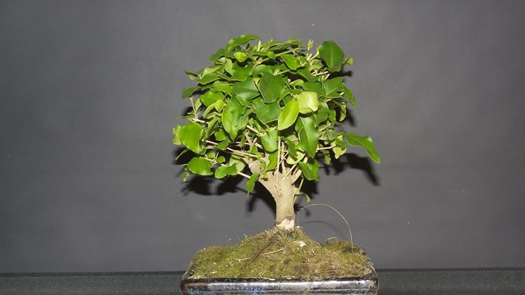 Bel bonsai