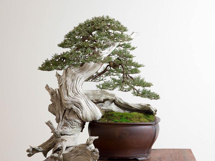 Esempio di bonsai