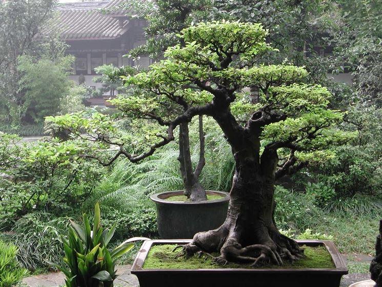 Esempio di arte del bonsai