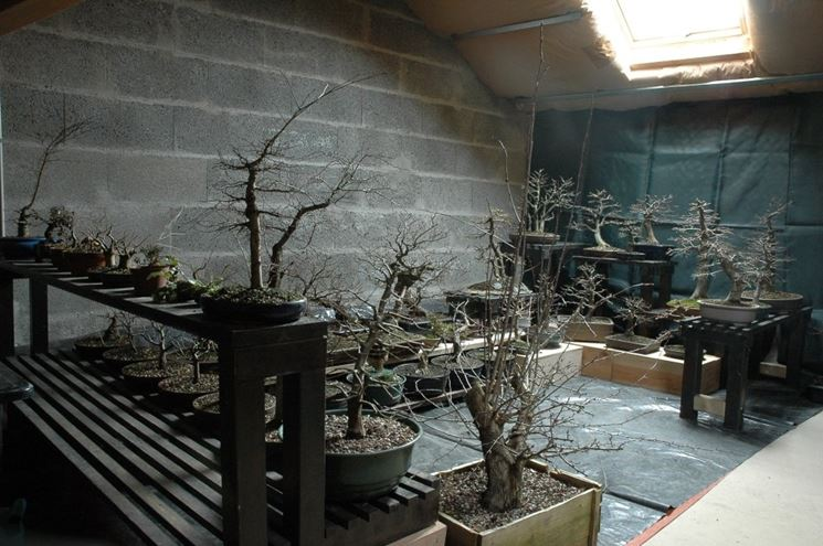 Bonsai al riparo in inverno