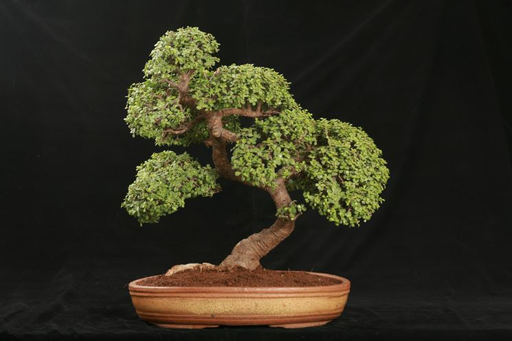esempio bonsai