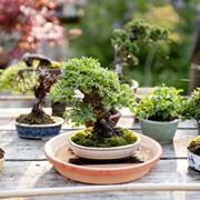 Innaffiare bonsai immersione