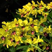 Orchidee Dendrobium gialle