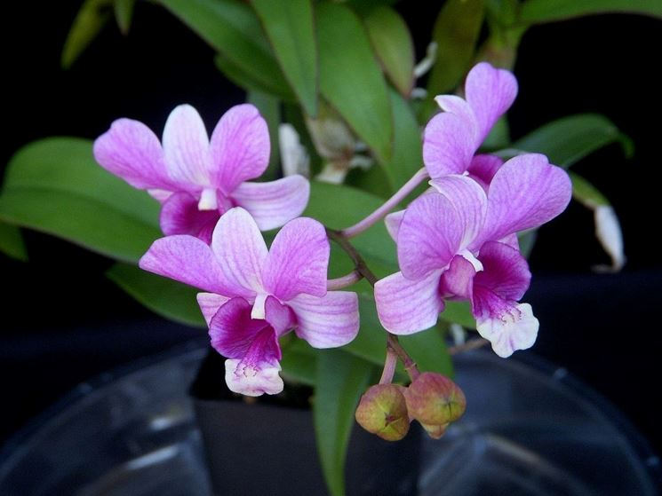 Come coltivare orchidee dendrobium cura orchidea for Orchidee in casa