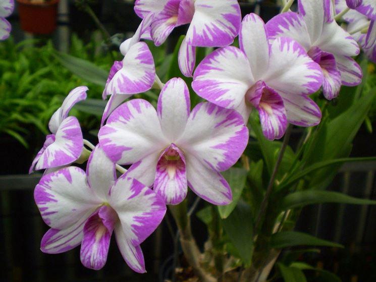 Fiori variegati di orchidea