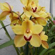 Esemplari di orchidee Cymbidium